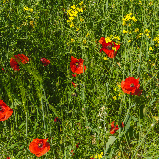 """Poppies in a field of Rape"" stock image"