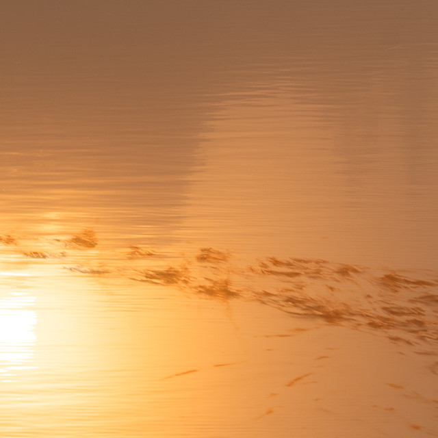 """""""Grebes running on water in sunrise"""" stock image"""