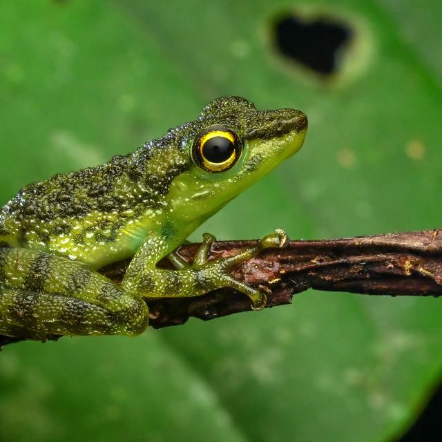 """Pond Frog 02"" stock image"