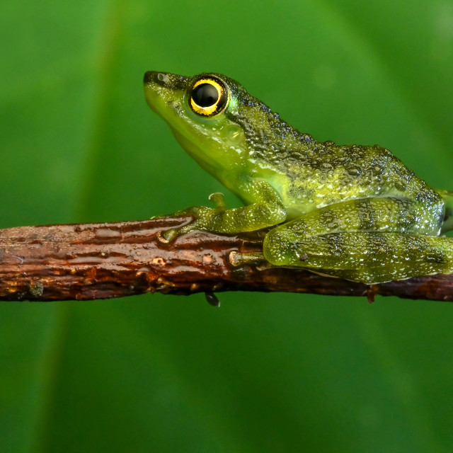 """Pond Frog 03"" stock image"