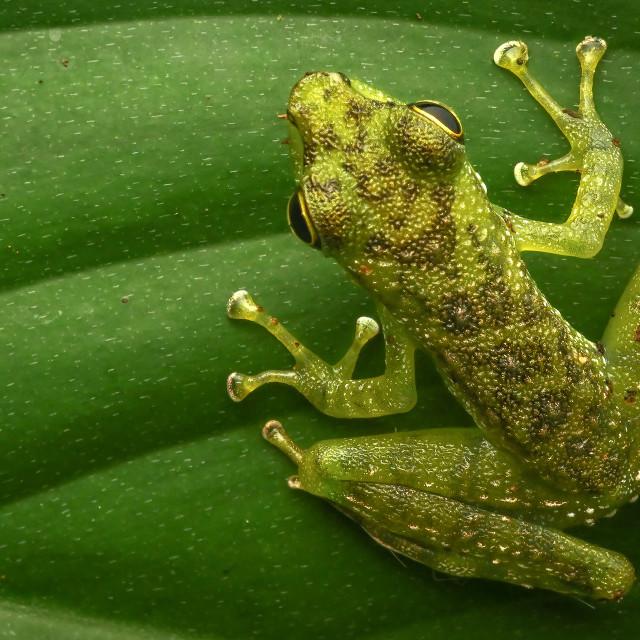 """Pond Frog 01"" stock image"