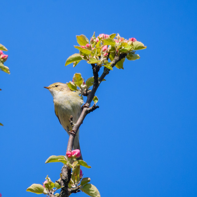 """Chiffchaff bird, Phylloscopus collybita sings on blooming apple tree."" stock image"