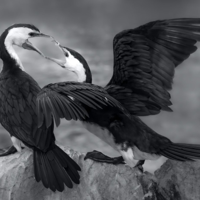 """Courting cormorants"" stock image"