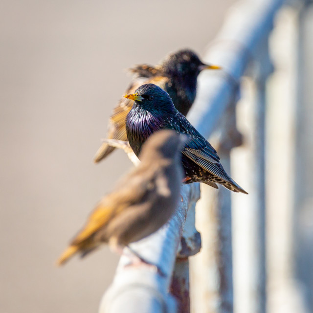 """""""Common starling"""" stock image"""