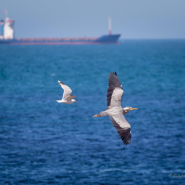 """European herring gull and Grey heron"" stock image"
