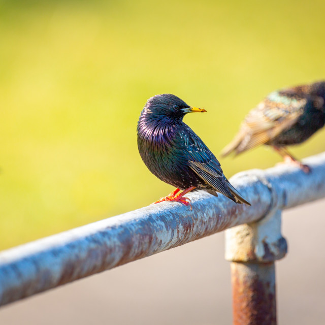 """Common starling"" stock image"