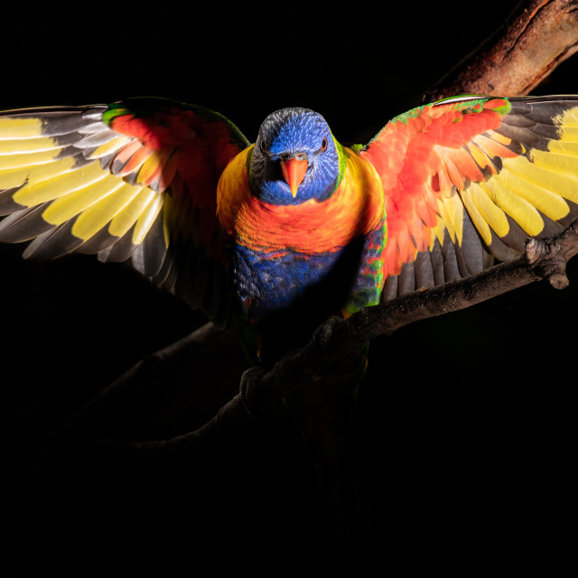 """""""Lorikeet Parrot with wings fully stretched"""" stock image"""