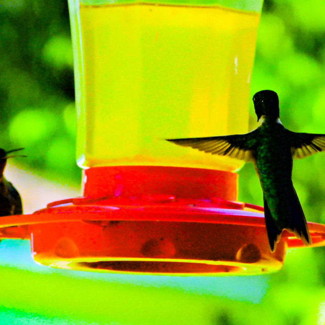 """Ruby-Throated Hummingbird"" stock image"