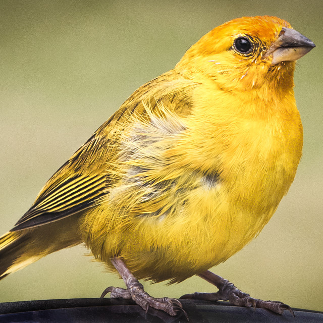 """Canary"" stock image"