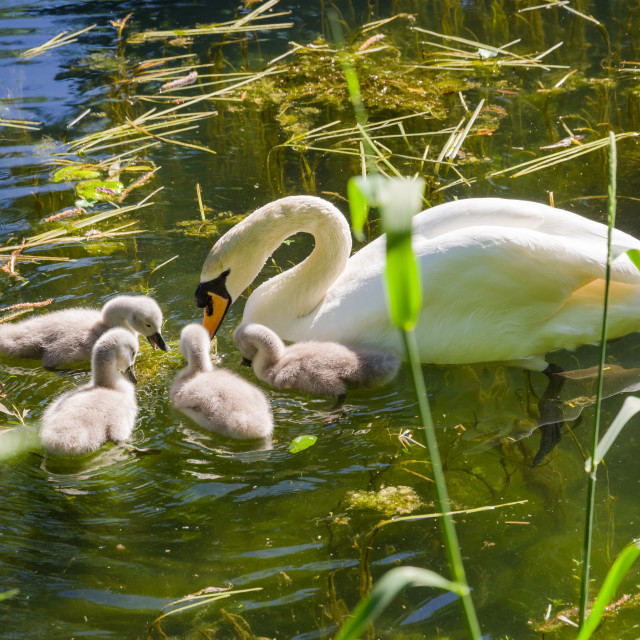 """""""Mute Swan with Babies"""" stock image"""