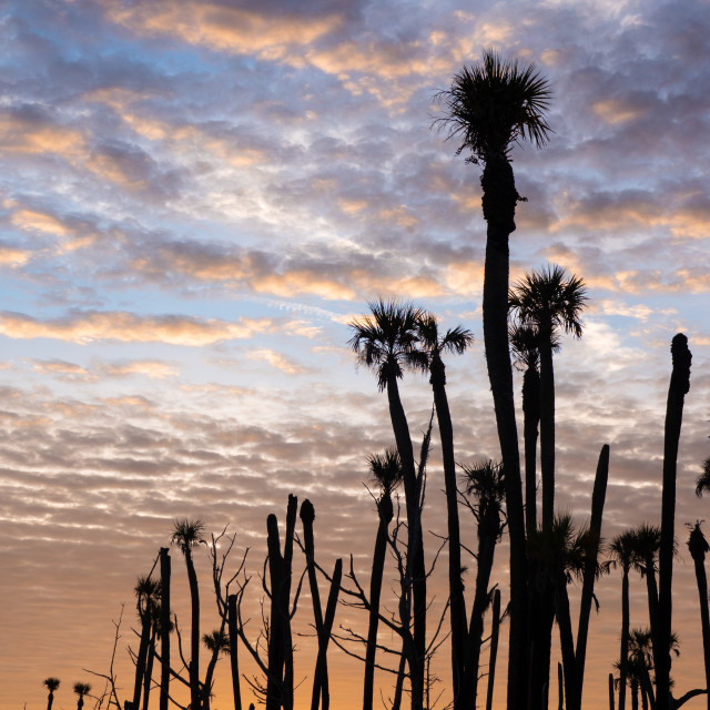 """""""Sunrise With Palm Trees at Orlando Wetlands Park"""" stock image"""