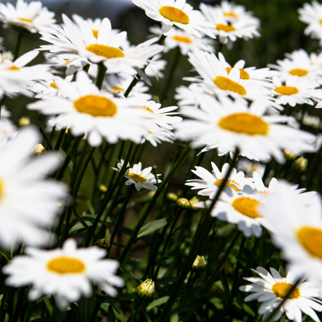 """Daisies Growing Up Toward Sunlight"" stock image"