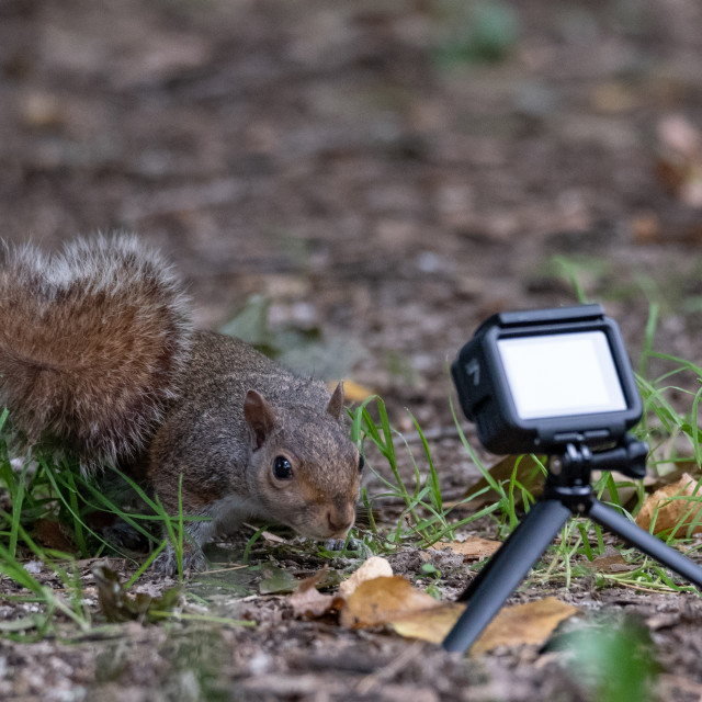 """""""Gray squirrel taken from an action cam"""" stock image"""