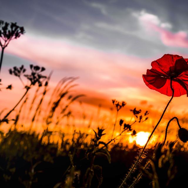 """""""A Poppy Sunset, Cambridge UK."""" stock image"""
