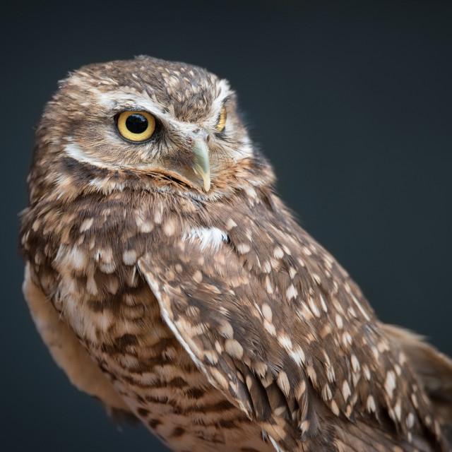 """Basil the Burrowing Owl"" stock image"