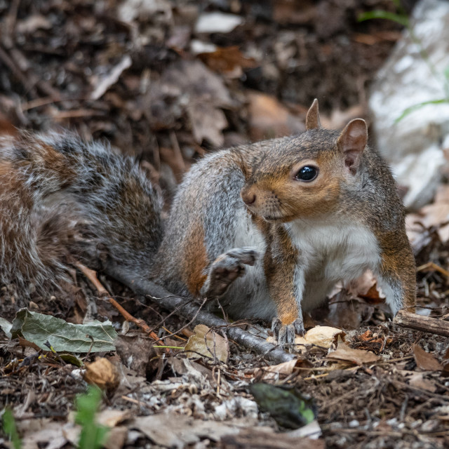 """""""Free gray squirrel in a city park"""" stock image"""