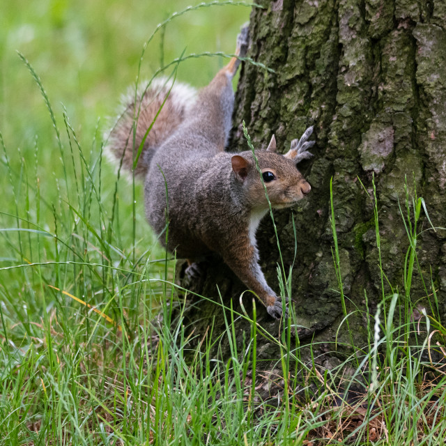 """""""Gray squirrel at the foot of a tree"""" stock image"""