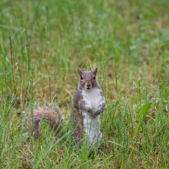"""""""Free gray squirrel in an Italian forest"""" stock image"""