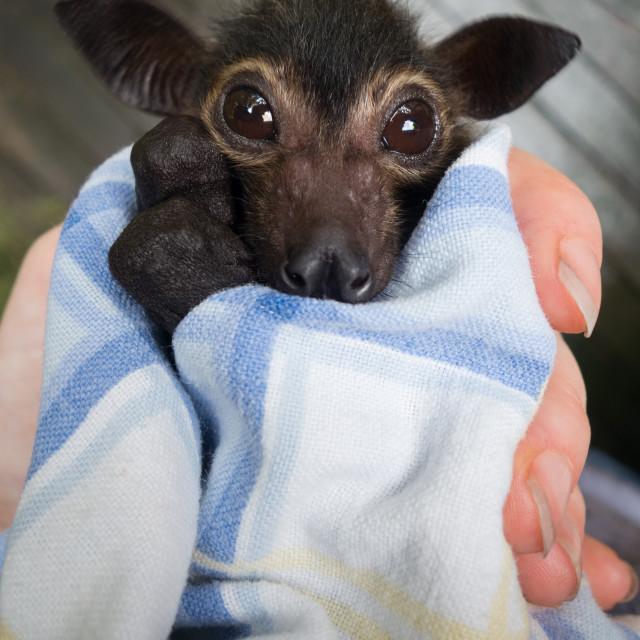 """Baby Bat Dobby - Orphaned Spectacled Flying Fox"" stock image"
