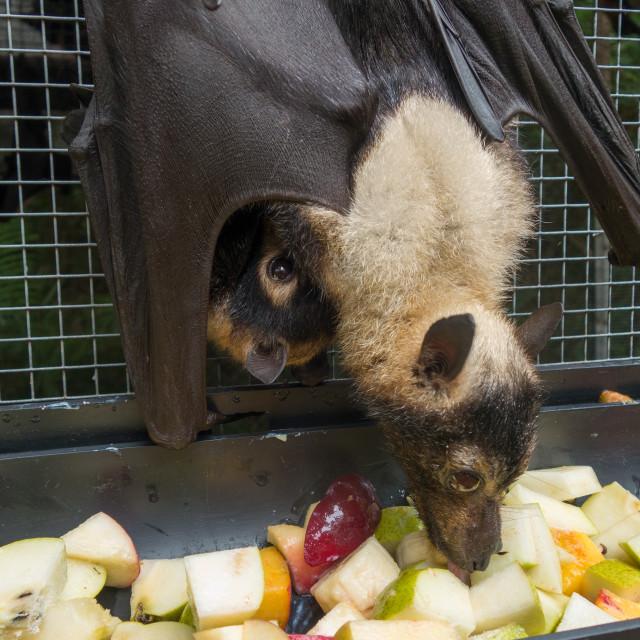 """Mom and Baby Fruit Bat Eating Fruit Salad"" stock image"