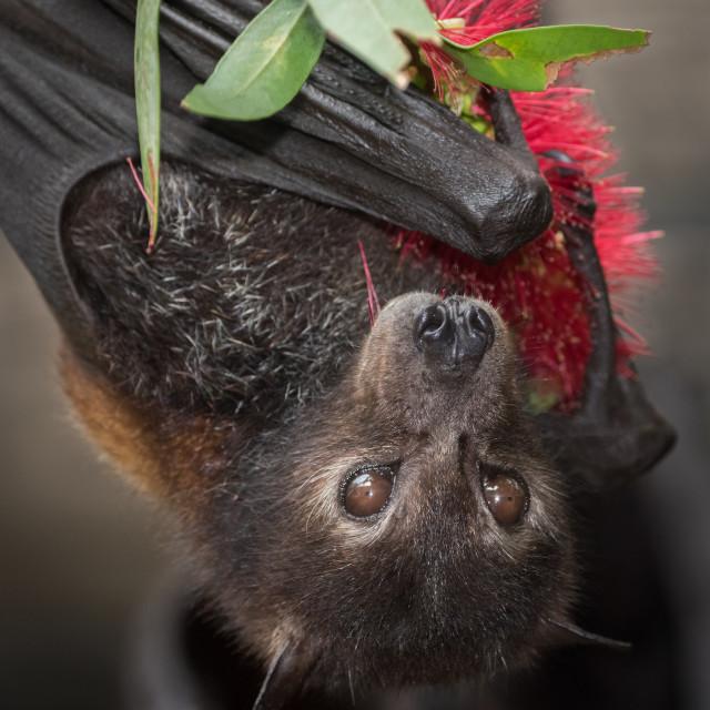 """""""Black Flying Fox Holding Bottlebrush Flower"""" stock image"""