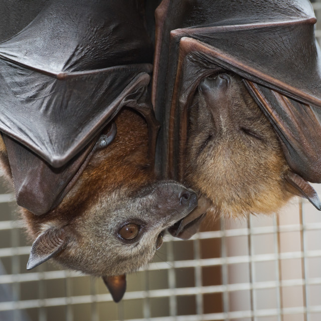 """""""Rescued Little Red Flying Foxes Having A Cuddle"""" stock image"""