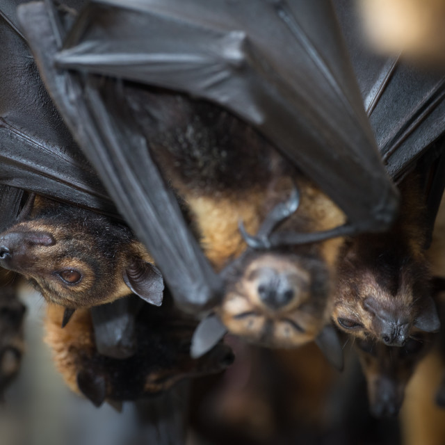 """""""Sleeping Spectacled Flying Foxes"""" stock image"""