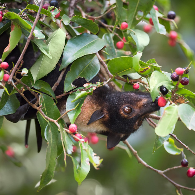 """""""Spectacled Flying Fox Eating Figs"""" stock image"""