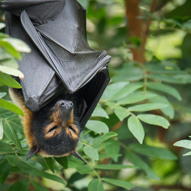 """""""Spectacled Flying Fox Sleeping In Rainforest"""" stock image"""