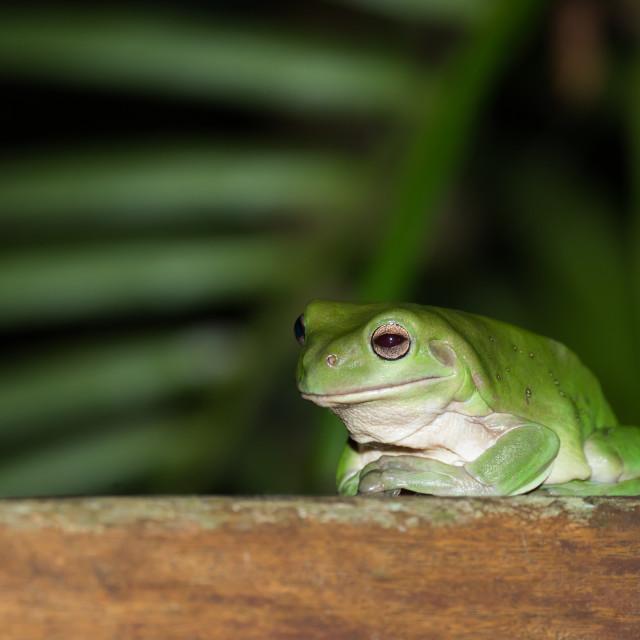 """Australian Green Tree Frog Chilling On Deck"" stock image"