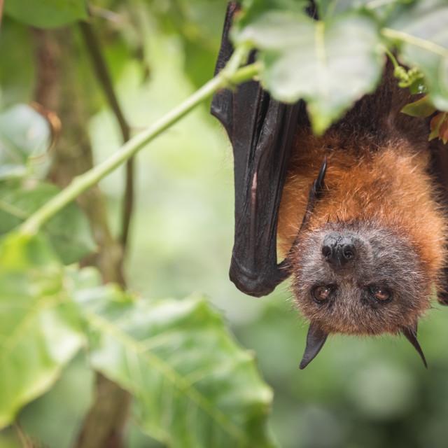 """Grey Headed Flying Fox Fruit Bat"" stock image"