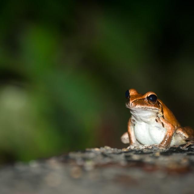 """Lone Rocket Frog Sitting On Road"" stock image"
