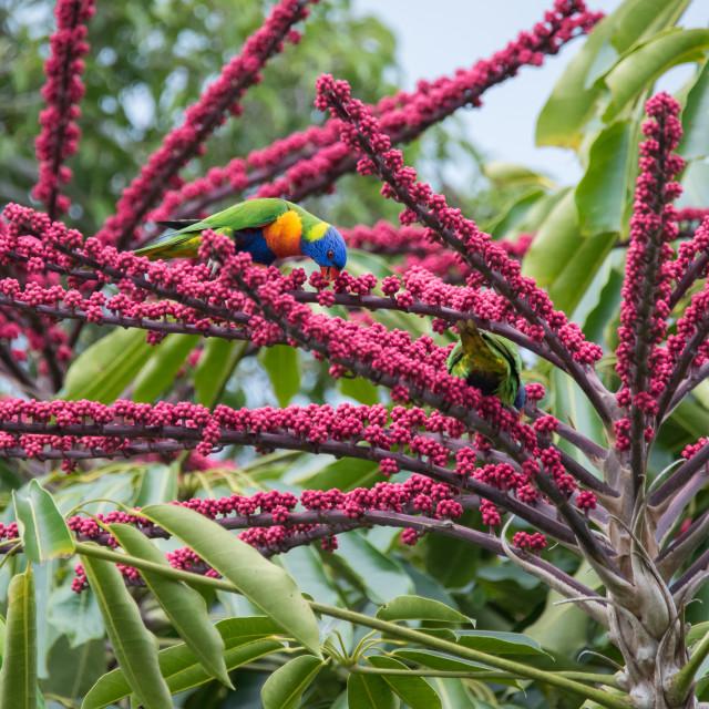 """Rainbow Lorikeet In Colourful Umbrella Tree"" stock image"