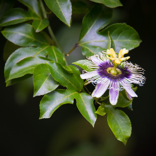 """Passionfruit Flower"" stock image"