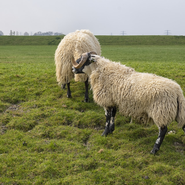 """""""Sheep in Groningen province"""" stock image"""