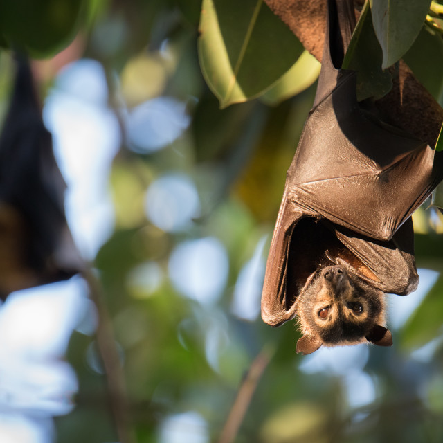 """""""Spectacled Flying Fox At Sunset"""" stock image"""