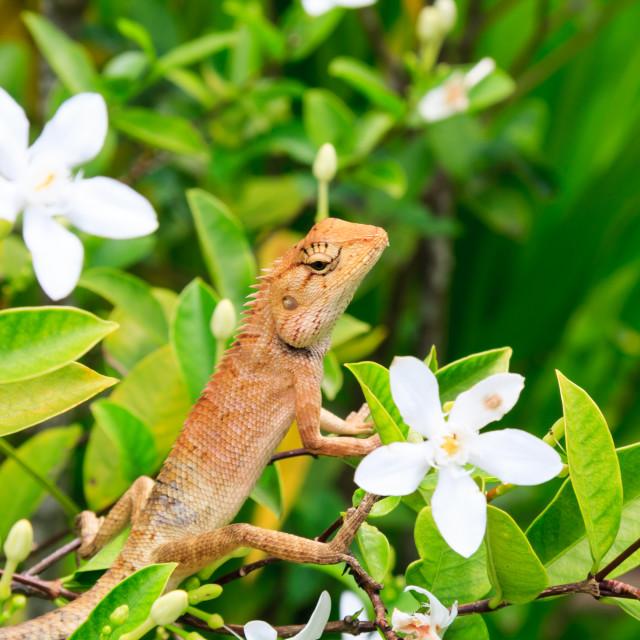 """Oriental Garden Lizard"" stock image"