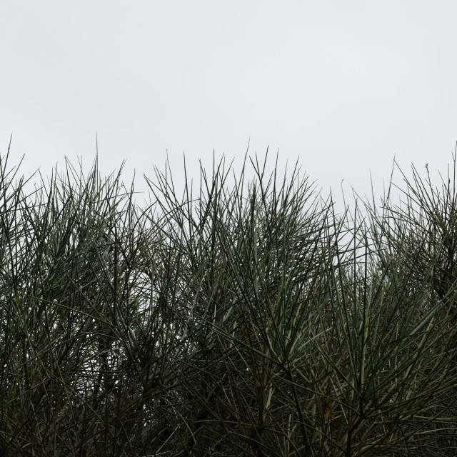 """shrub plant with thorns"" stock image"