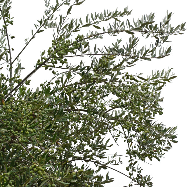 """""""olive tree branches with ripe olives"""" stock image"""