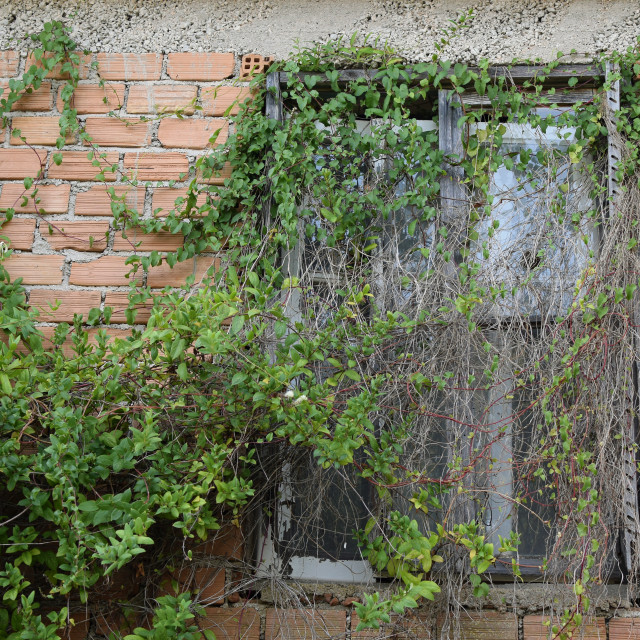 """""""window with overgrown creeper plant"""" stock image"""