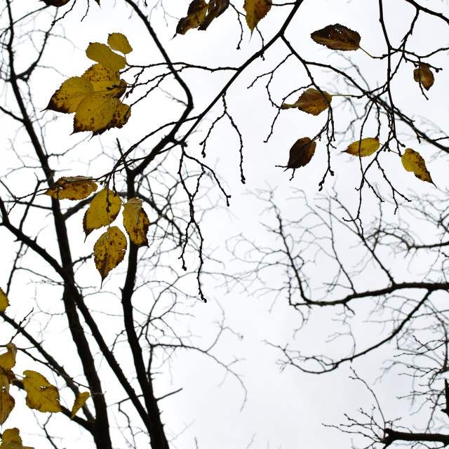 """""""yellow leaves tree branches"""" stock image"""