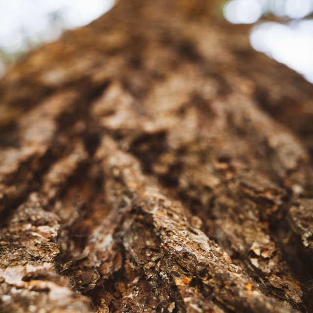 """Selective focus on trunk of a conifer tree. Macro and detail of the bark veins."" stock image"