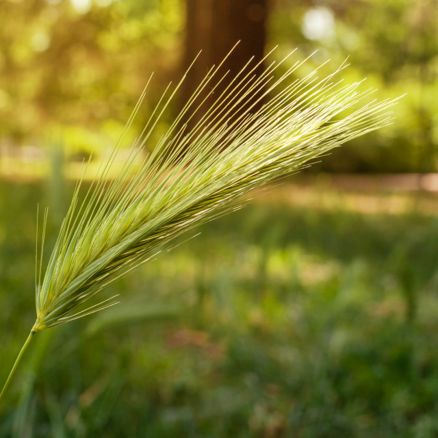 """Macro of ear of green wheat in the park."" stock image"