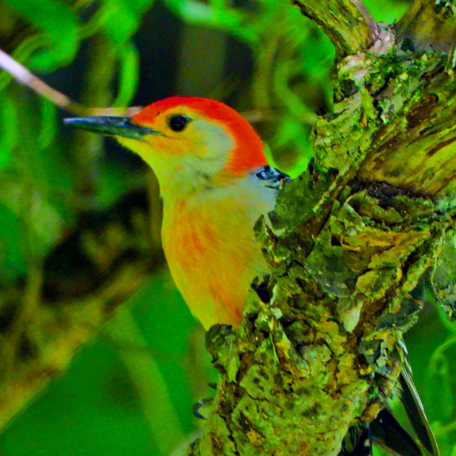 """Red-Bellied Woodpecker"" stock image"