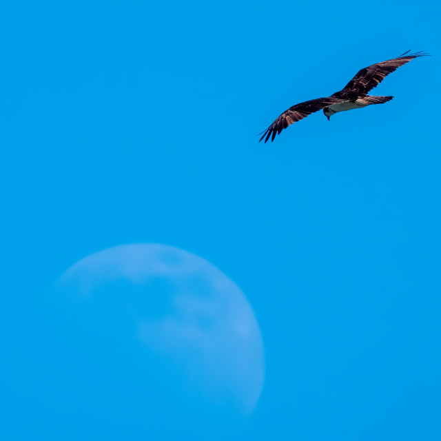 """""""Osprey and moon"""" stock image"""