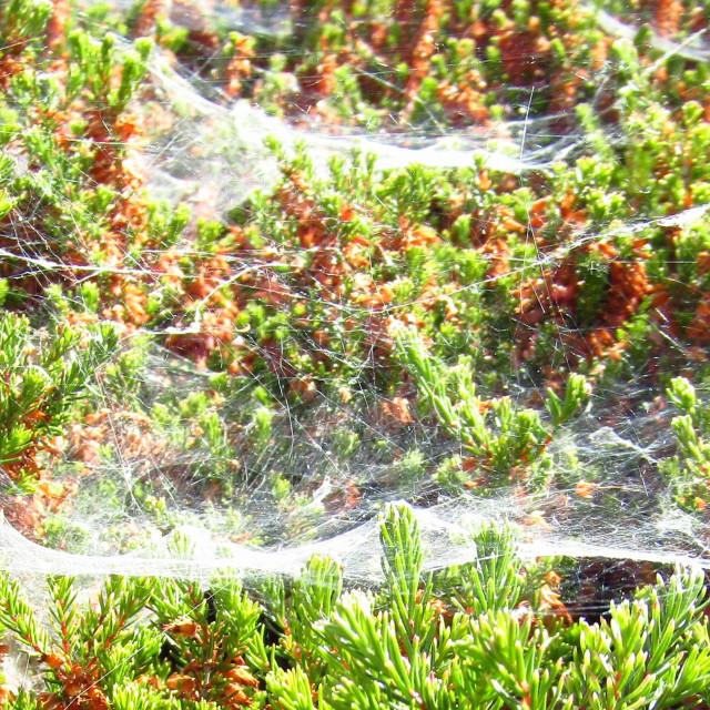 """""""Large cobweb on bushes"""" stock image"""