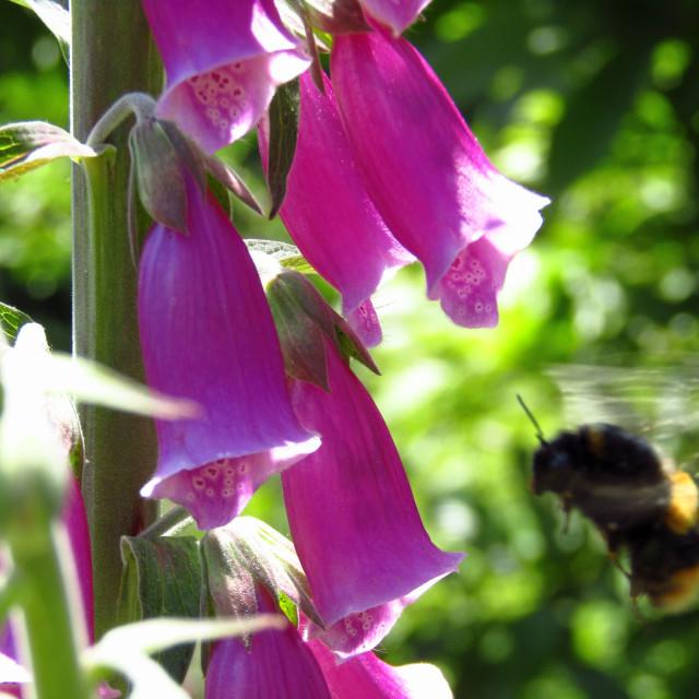 """Bee flying around foxglove"" stock image"