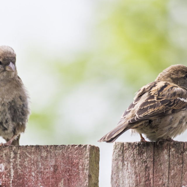 """""""Female house sparrow, Passer domesticus perched on a garden fenc"""" stock image"""