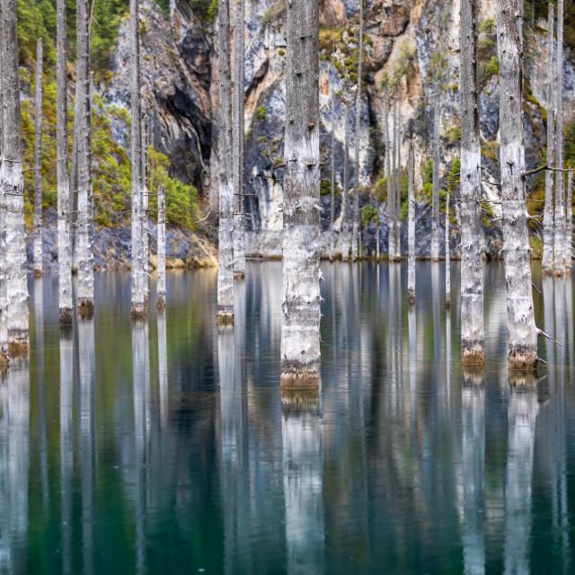 """Kaindy lake flooded pine forest"" stock image"