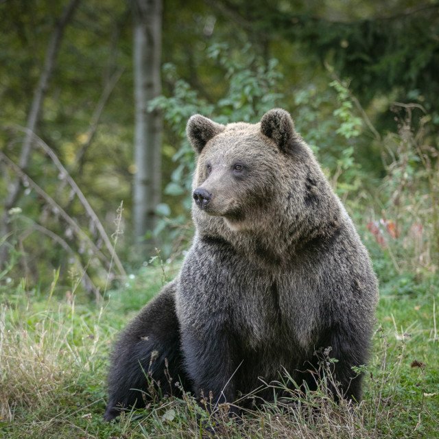 """""""European wild brown bear in forest"""" stock image"""